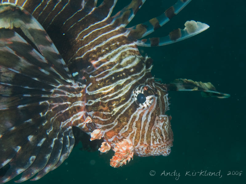 Photo at Moray Garden - North:  Devil firefish