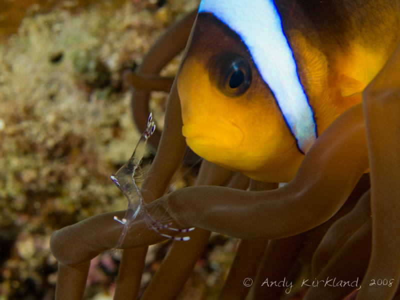 Photo at Moray Garden - North:  Long-arm cleaner shrimp,Twoband anemonefish