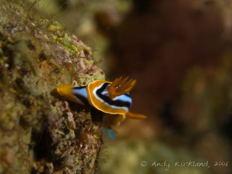 Photo at Moray Garden - North:  Pyjama chromodorid