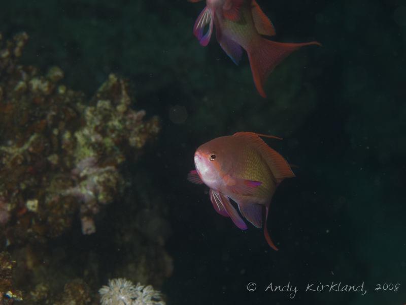 Photo at Moray Garden - North:  Sea goldie