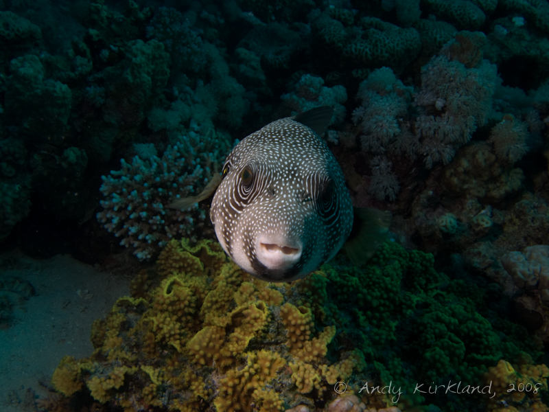 Photo at Canyon Coral Garden:  White-spotted puffer