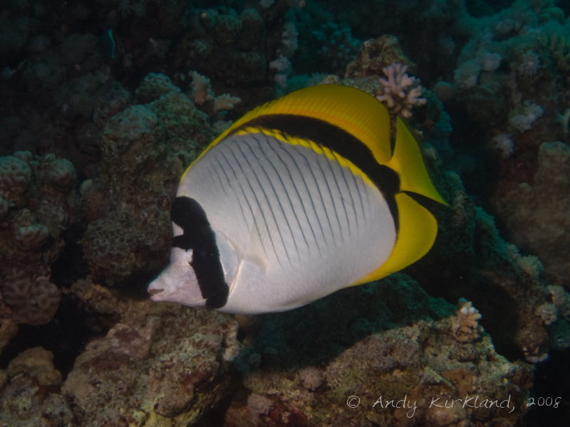 Photo at Canyon Coral Garden:  Lined butterflyfish
