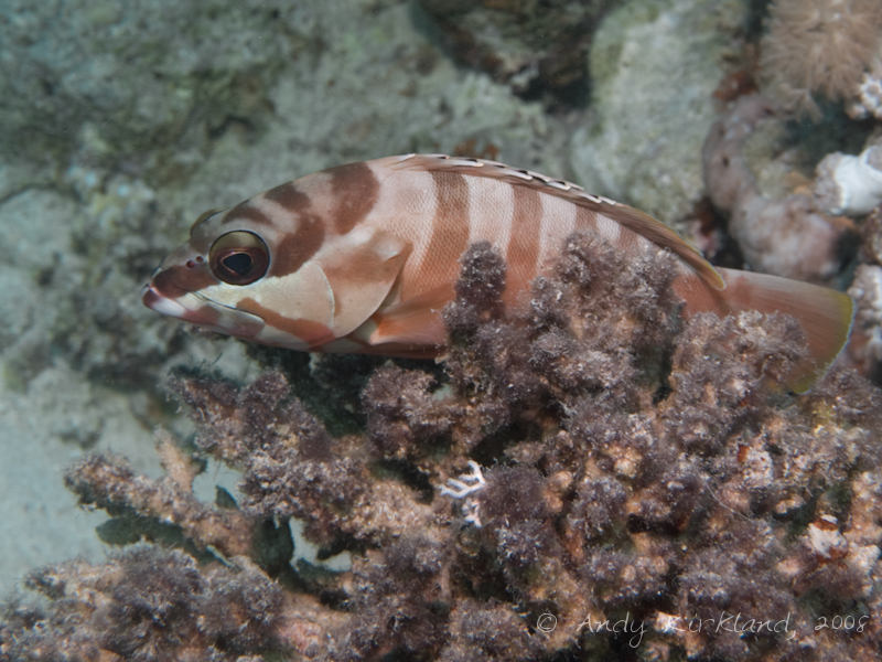 Photo at Canyon Coral Garden:  Blacktip grouper