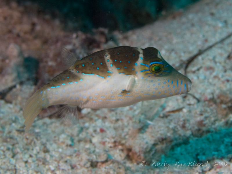 Photo at Um Sid:  Crowned puffer