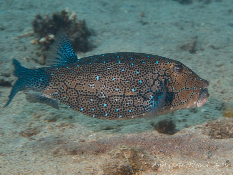 Photo at Golden Blocks:  Yellow boxfish