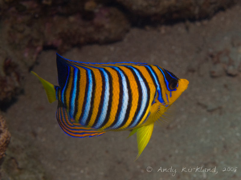 Photo at Golden Blocks:  Royal angelfish