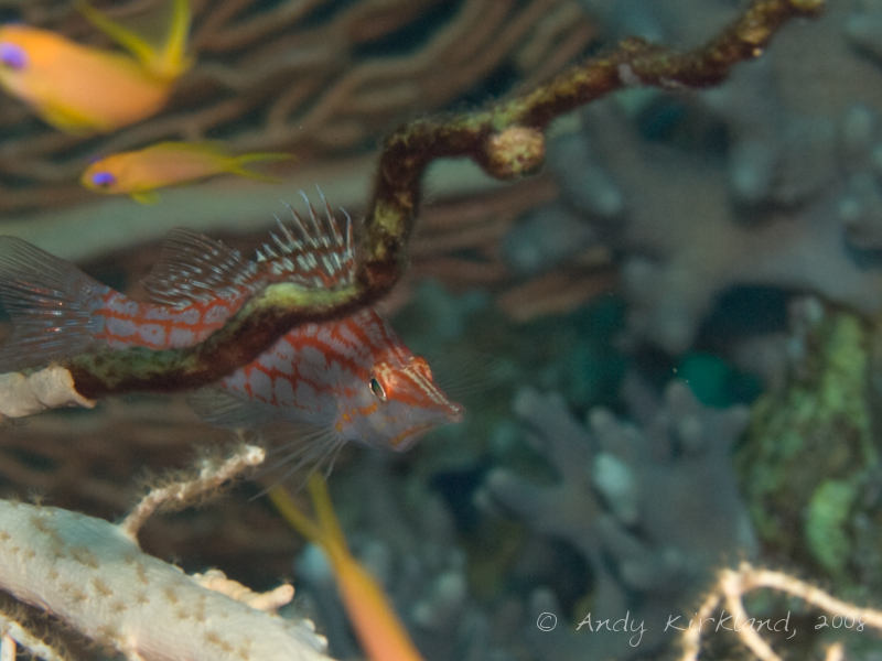 Photo at Sugarat:  Longnose hawkfish