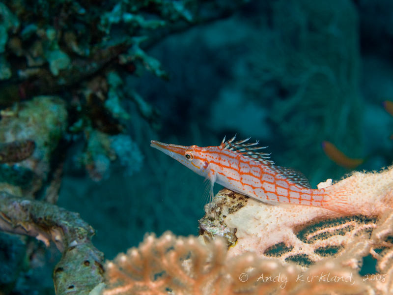 Photo at Sugarat:  Longnose hawkfish