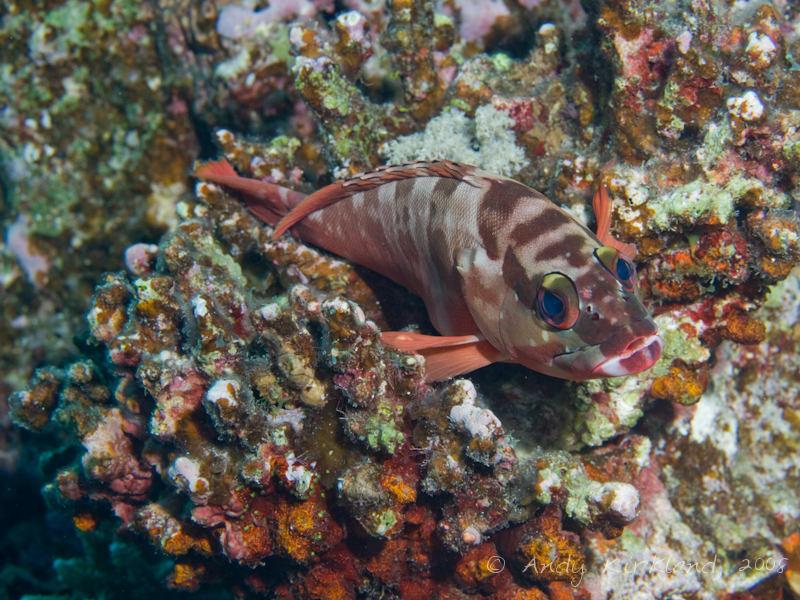 Photo at Sha'ab Saeed:  Blacktip grouper