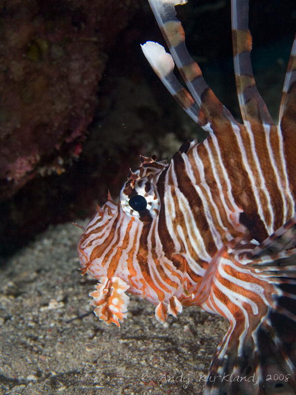 Photo at Rick's Reef:  Devil firefish