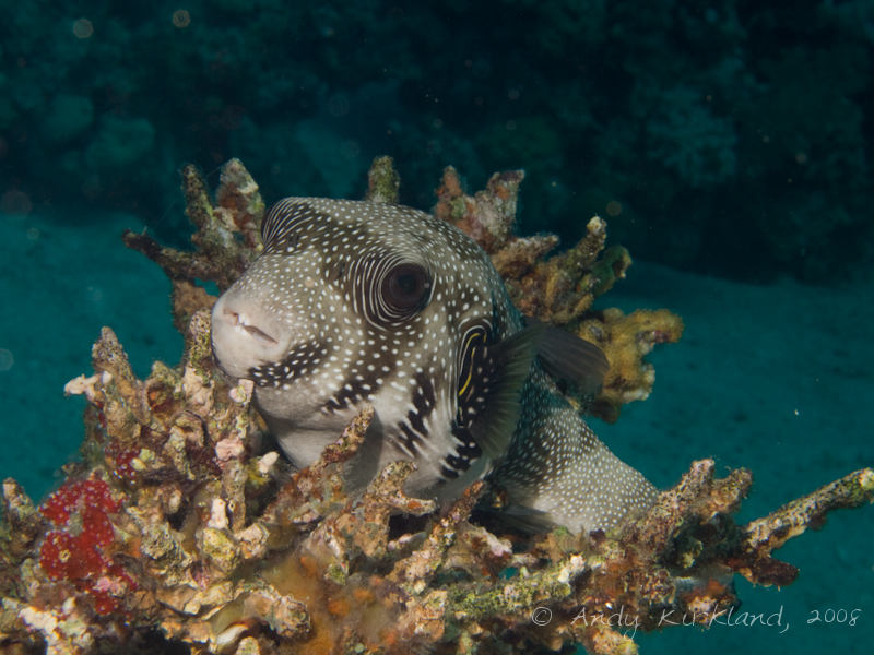 Photo at Rick's Reef:  White-spotted puffer