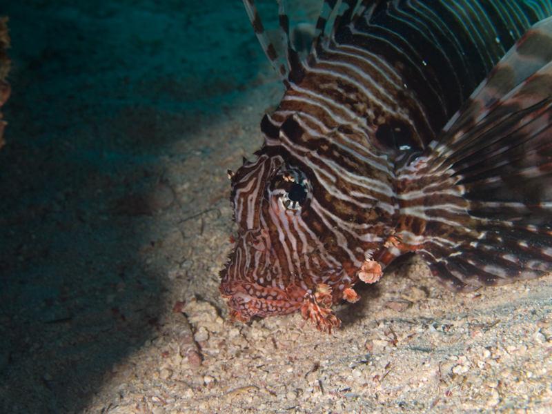 Photo at Um Sid:  Devil firefish