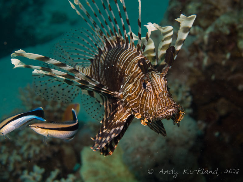 Photo at Um Sid:  Bluestreak cleaner wrasse,Devil firefish