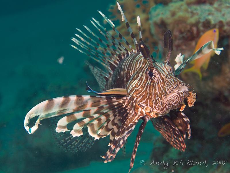 Photo at Um Sid:  Bluestreak cleaner wrasse,Devil firefish