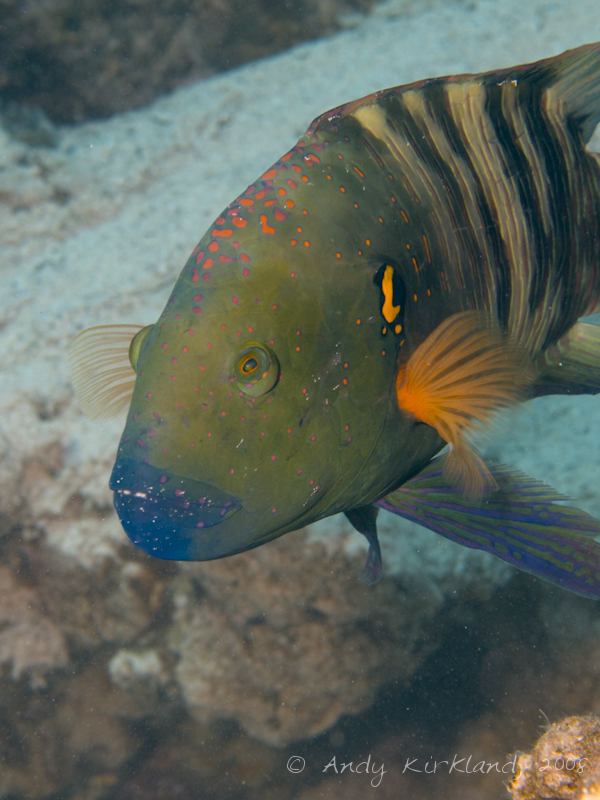 Photo at Um Sid:  Broomtail wrasse