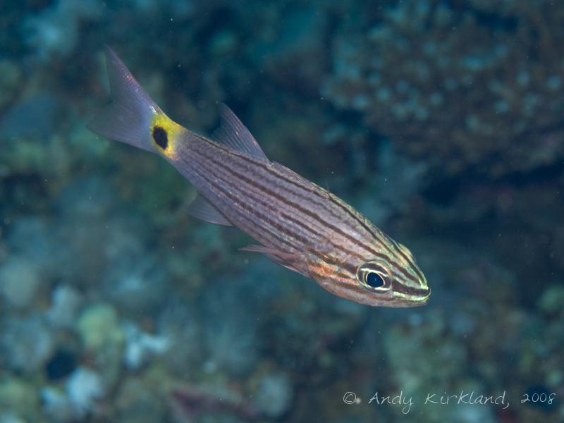 Photo at Moray Garden:  Aquaba cardinalfish