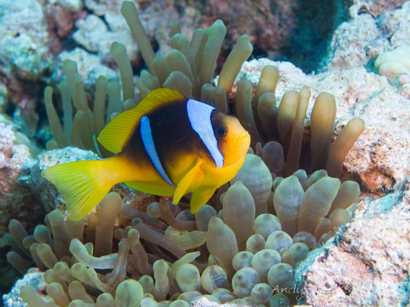 Photo at Moray Garden - South:  Twoband anemonefish