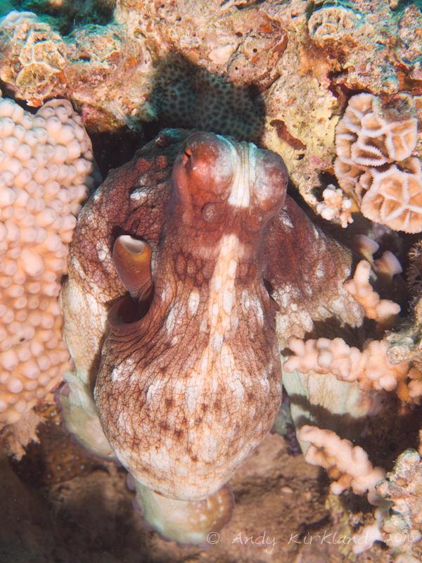 Photo at Moray Garden - South:  Reef Octopus