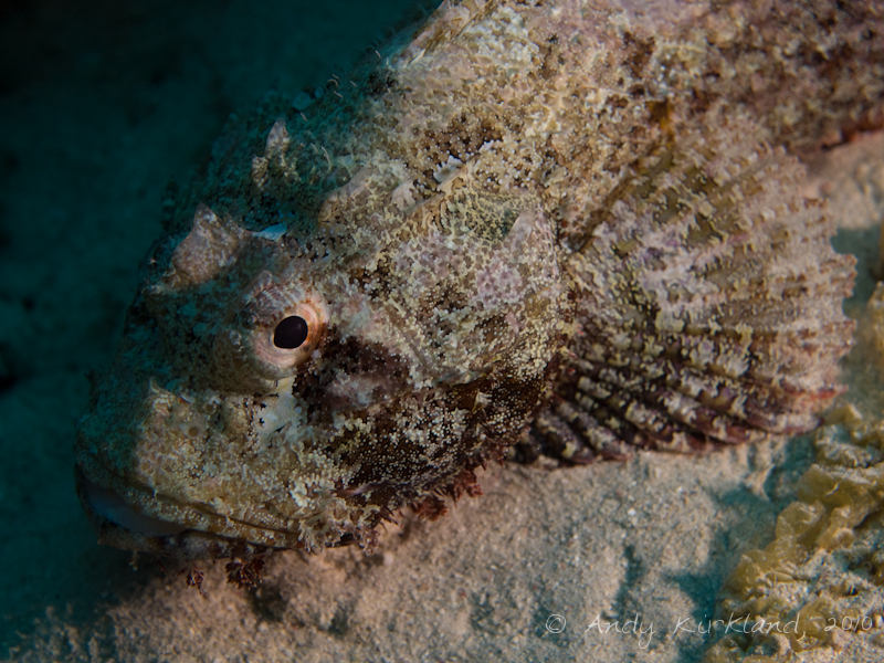 Photo at Moray Garden - South:  Tassled scorpionfish