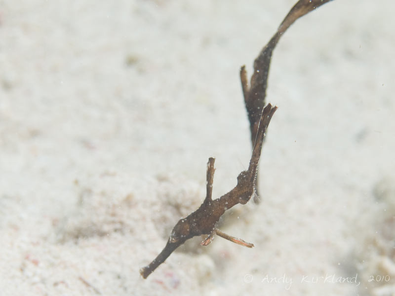 Photo at Canyon Coral Garden:  Ghost pipefish