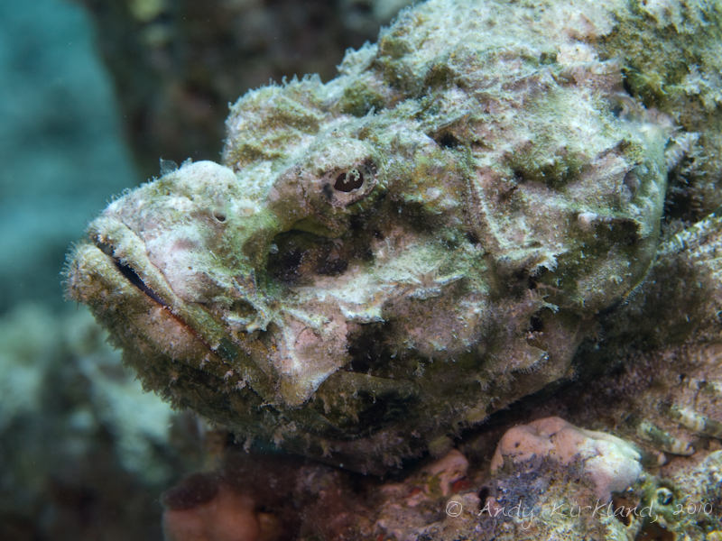 Photo at Canyon Coral Garden:  False stonefish