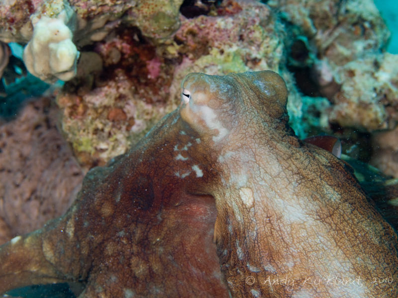 Photo at Canyon Coral Garden:  Reef Octopus