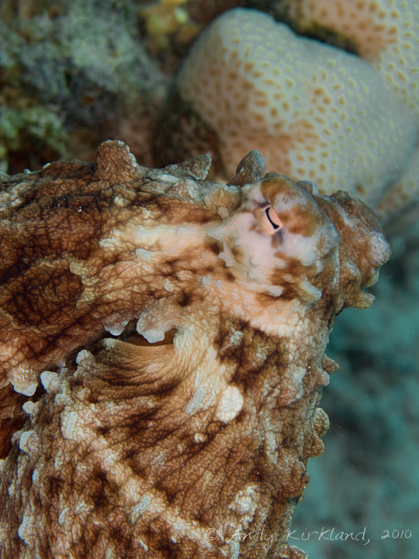 Photo at Canyon Coral Garden:  Reef Octopus