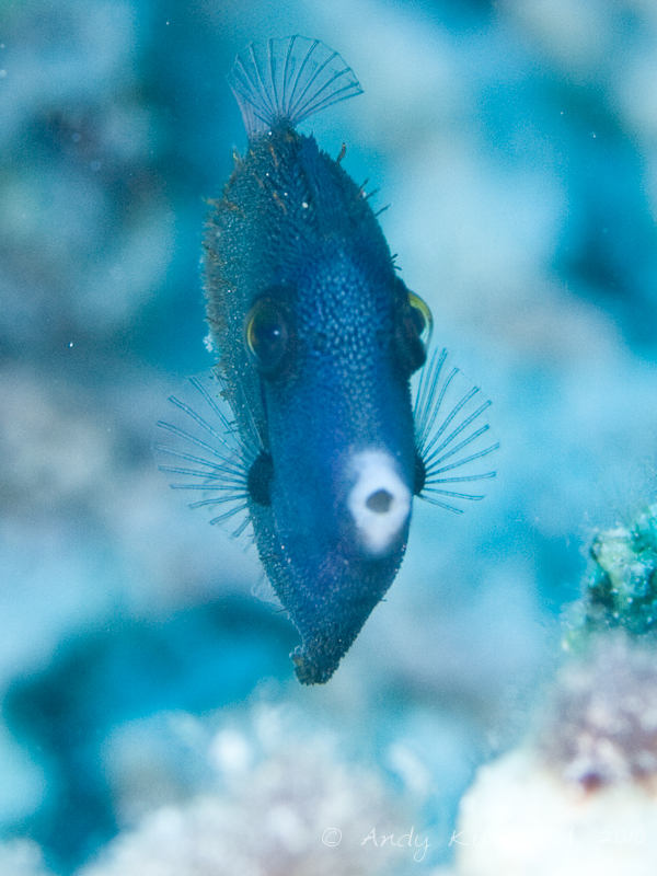 Photo at Canyon Coral Garden:  Filefish