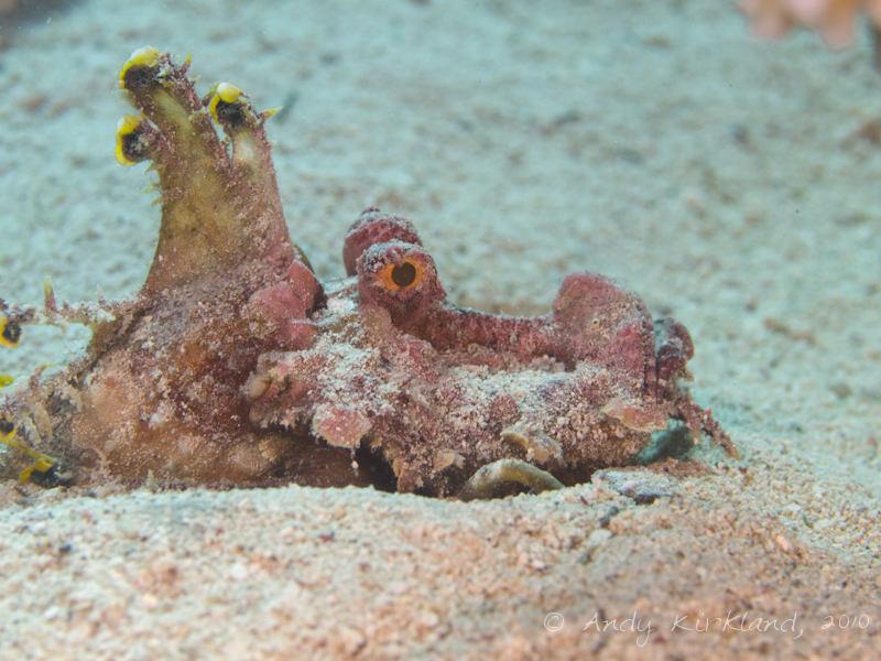 Photo at Canyon:  Two-stick stingfish