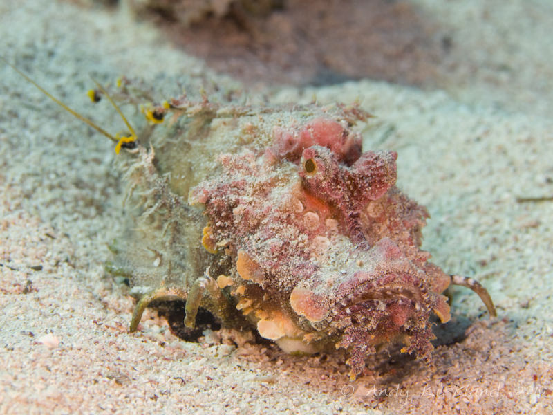 Photo at Canyon:  Two-stick stingfish