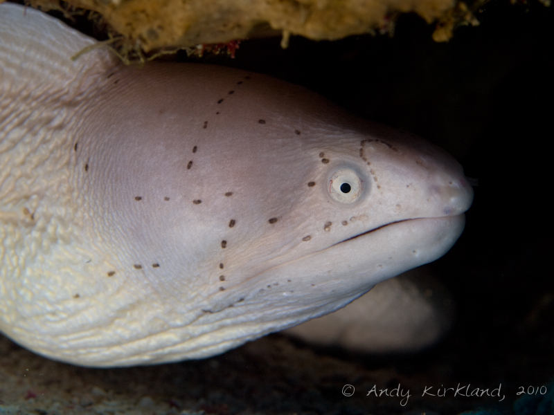 Photo at Um Sid:  Geometric moray