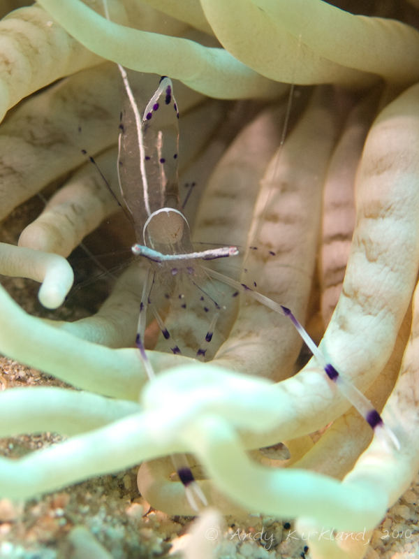Photo at Um Sid:  Long-arm cleaner shrimp