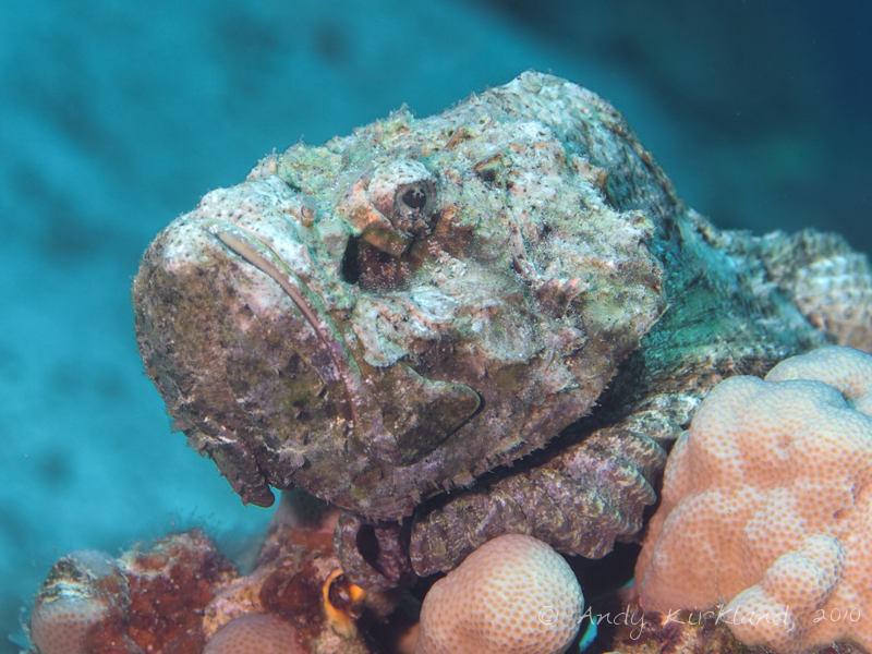 Photo at Um Sid:  False stonefish