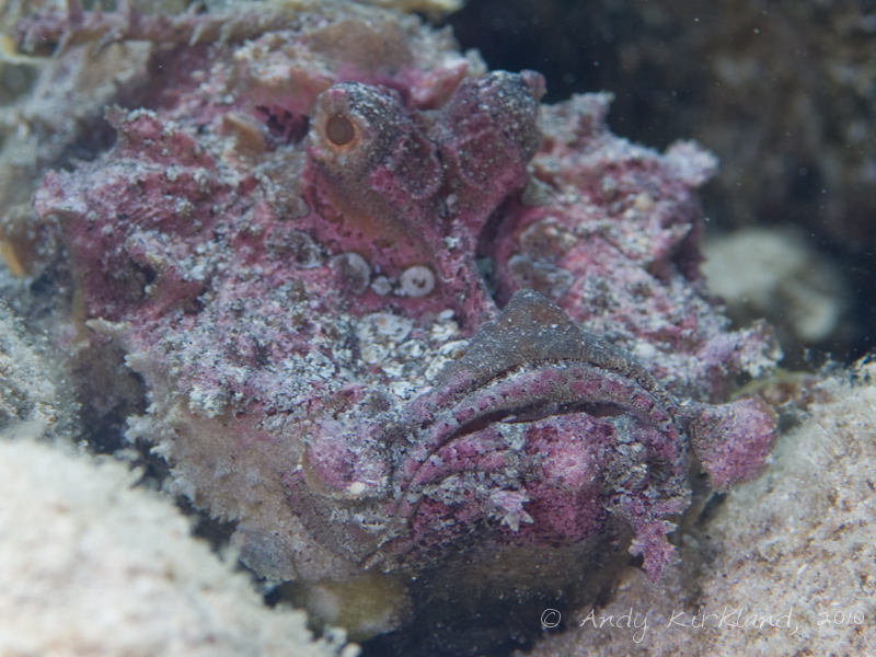 Photo at Um Sid:  Two-stick stingfish