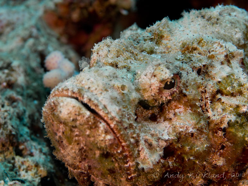 Photo at Um Sid:  False stonefish