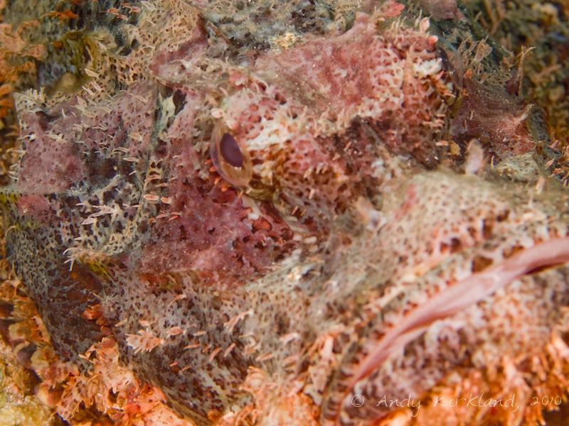 Photo at Um Sid:  Tassled scorpionfish