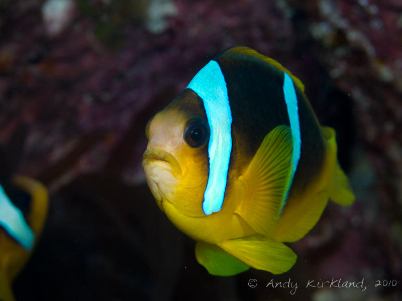 Photo at The Caves:  Twoband anemonefish