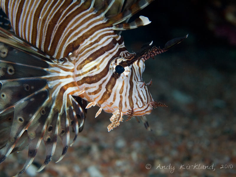 Photo at The Caves:  Devil firefish