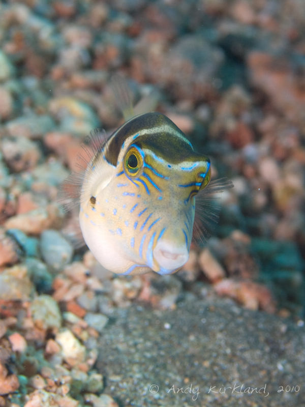 Photo at Lighthouse:  Crowned puffer