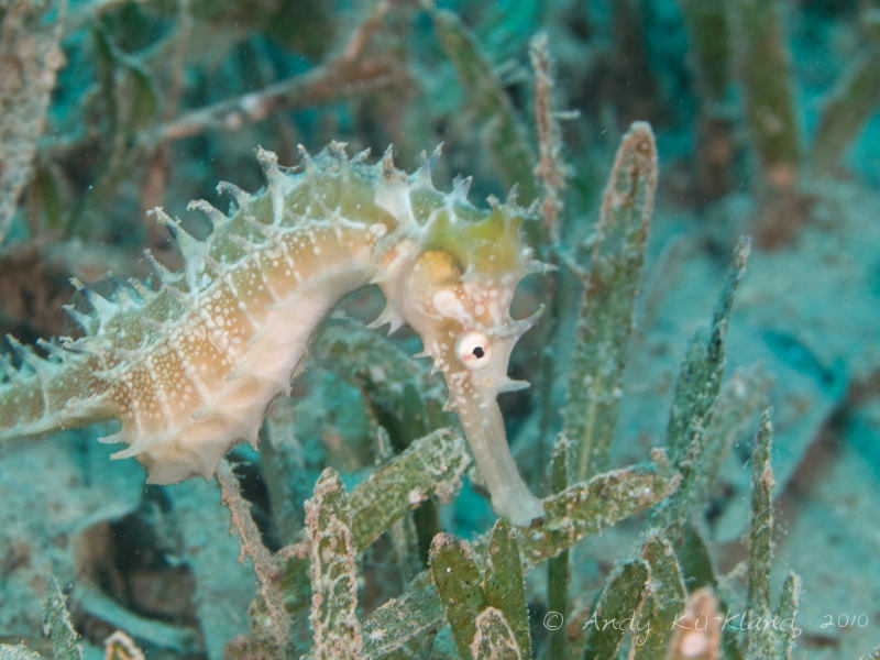 Photo at Lighthouse:  Jayakar's seahorse