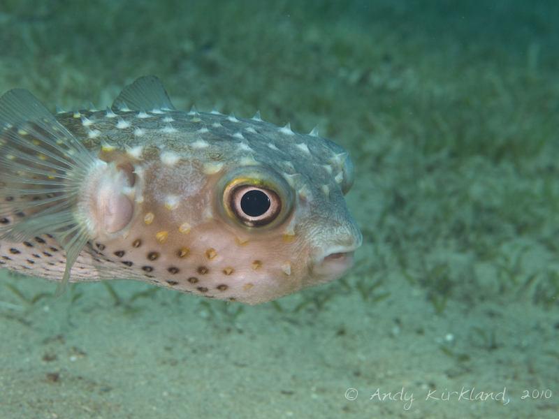 Photo at Lighthouse:  Spotbase burrfish