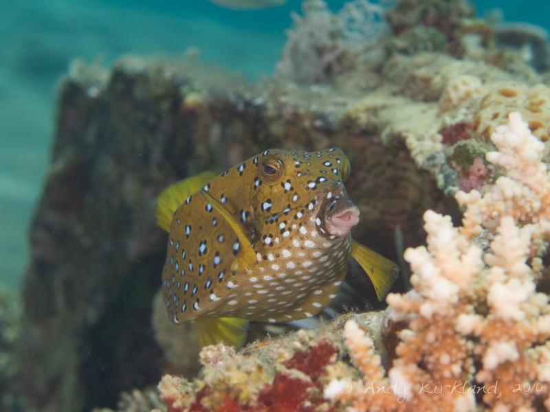 Photo at Lighthouse:  Yellow boxfish