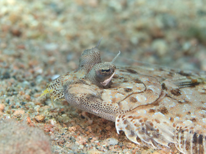 Photo at Lighthouse:  Leopard flounder