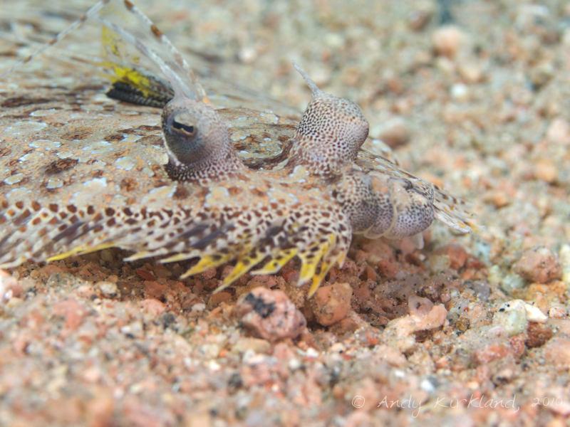 Photo at Lighthouse:  Leopard flounder