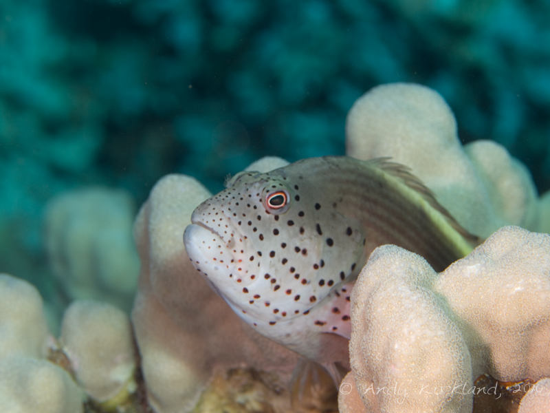 Photo at Islands:  Blackside hawkfish