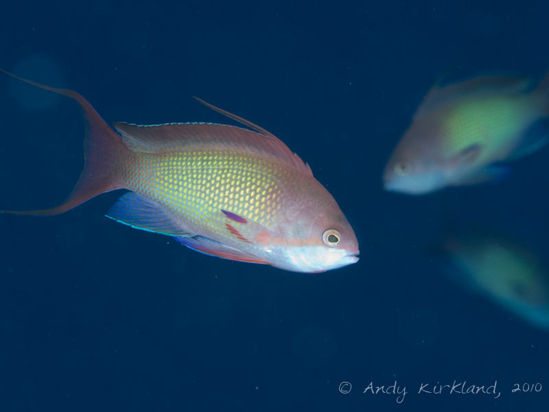Photo at Islands:  Red Sea anthias
