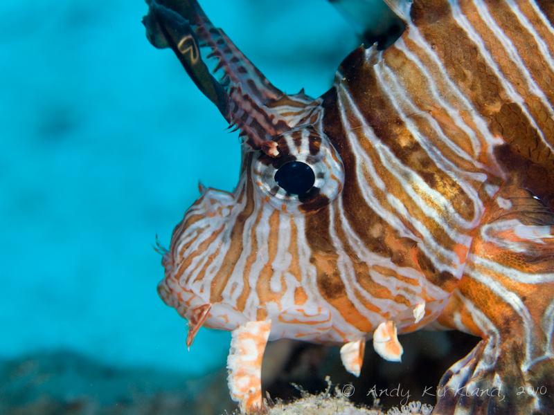 Photo at Islands:  Devil firefish