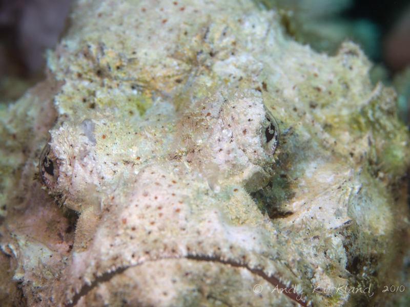 Photo at Islands:  False stonefish