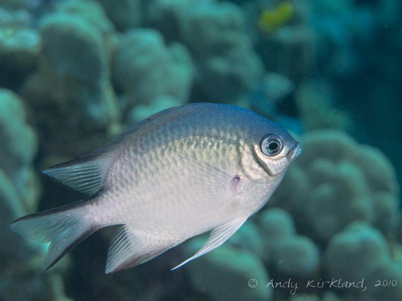 Photo at Islands:  Pale Damselfish
