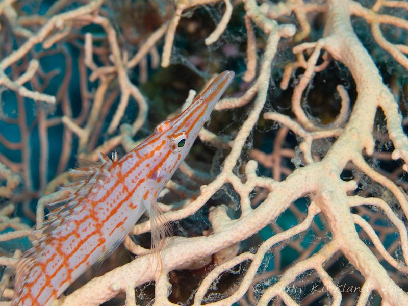 Photo at Gabr-el-Bint:  Longnose hawkfish